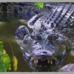 Saltwater Crocodile EKSP38