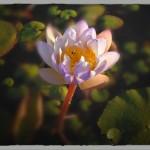 Water Lily EKSP35